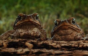 Two Cane Toads on a log staring at the camera
